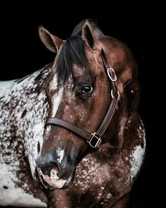The Secret Pardon, Appaloosa Stallion in Massachusetts All The Pretty Horses, Beautiful Horses, Zebras, Appaloosa Horses For Sale, Animals And Pets, Cute Animals, Quarter Horses, Horse Photography, Belleza Natural