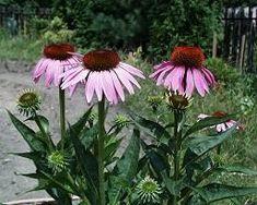 třapatka nachová - echinacea Home And Garden, Herbs, Plants, Garden, Farm, Echinacea, Landscape, Nature