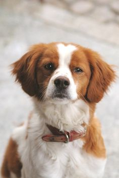 My first canine love was a Brittany Spaniel puppy! Got him when I was 7 and he crossed the Rainbow Bridge when I was 20! You never forget your first canine love! <3