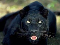 pantera white eyes - Pesquisa Google