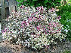 Shrubs Neatly rounded shrub displays rose pink blooms backed by excellent variegated foliage. Moderate grower to 3 ft. Flowering Bushes Full Sun, Evergreen Flowering Shrubs, Full Sun Shrubs, Tall Shrubs, Evergreen Landscape, Shrubs For Landscaping, Garden Shrubs, Garden Path, Landscaping Ideas