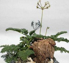 Pelargonium triste night scented Pelargonium seeds