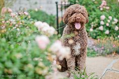 Teddy, the handsome Lagotto Romagnolo