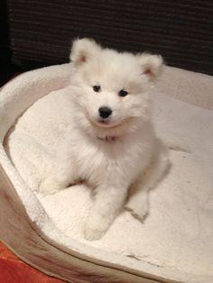 cutest puppy Ive ever seen! Now I want a samoy! Looks like a little polar bear <3