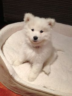 Our first born #samoyed #puppy