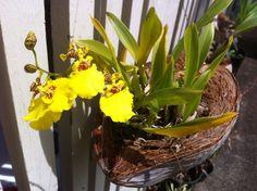 Orchid in coconut husk