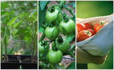 Maybe this year my tomatoes will succeed.  :)