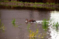 Duck in Tsukuba