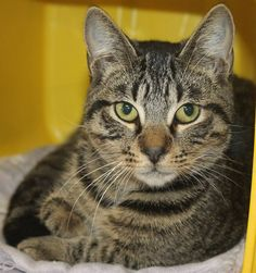 RTO>Intake: 10/10 Available: 10/16 NAME: Tigger  ANIMAL ID: 31863703 BREED: DSH SEX: Neutered Male  EST. AGE: 6 mos  Est Weight: 5 lbs Health:  Temperament: Friendly ADDITIONAL INFO:  RESCUE PULL FEE: $35