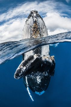 "Wide Angle Winner: ""Humpback whale spy hopping"" by Greg Lecoeur (France)"