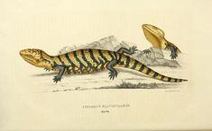https://flic.kr/p/w2TZ5H | n33_w1150 | Descriptiones et icones amphibiorum.. Monachii,Stuttgartiae et Tubingae, Sumtibus J.G. Cottae,[1828-]1833.. biodiversitylibrary.org/page/43580119