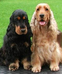 The American Cocker Spaniel is a breed of sporting dog. It is a spaniel type dog that is closely related to the English Cocker Spaniel; the two breeds diverged during the 20th century due to differing breed standards in America and the UK. In the United States, the breed is usually referred to as the Cocker Spaniel, while elsewhere in the world, it is called the American Cocker Spaniel in order to differentiate between it and its English cousin. The word cocker is commonly a friendly pet.