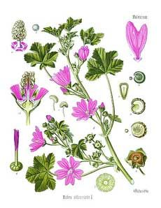 Malva sylvestris) Koehler's Medicinal Plants 1887.  Common mallow is a popular herb to treat respiratory problems. The herb contains a lot of mucous substances that covers the inflamed tissue with a protective layer.