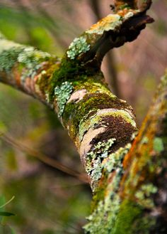 Any of these varieties of moss and lichen can be removed (with bark) and placed in a moss garden.