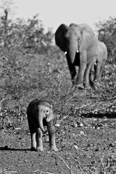 As a child, did you ever get that weird feeling that your mother was always watching you (and somehow knew everything!) 😱😀😀 Picture by Andrei Snyman taken in Botswana. Animals And Pets, Baby Animals, Smiling Animals, Cute Animals, All About Elephants, Baby Elephants, Elephant Love, Giraffe, Beautiful Creatures