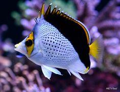 Hawaiian Butterflyfish or Tinker's Butterflyfish - salt water fish tank Marine Aquarium, Marine Fish, Underwater Creatures, Ocean Creatures, Underwater Fish, Saltwater Aquarium Fish, Betta Aquarium, Saltwater Tank, Tropical Fish Tanks