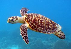 Elusive and estimated to be only 30 of these nesting in Kauai. The shell is gorgeous! Hawksbill Sea Turtle/ Carey de Concha | by USFWS/Southeast