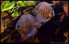 Symphysodon haraldi 'Curuai' | Flickr - Photo Sharing! Discus Tank, Discus Aquarium, Discus Fish, Freshwater Aquarium, Fish Tank, Water Life, Beautiful Fish, Cichlids, Underwater World