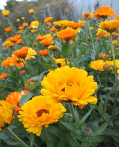 Calendula Officinalis or pot marigolds are prolific self seeders! Attracts ladybugs!