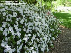 Prune and fertilize azaleas after flowers fade; thinning is preferred over shearing and a slow-release fertilizer works best.