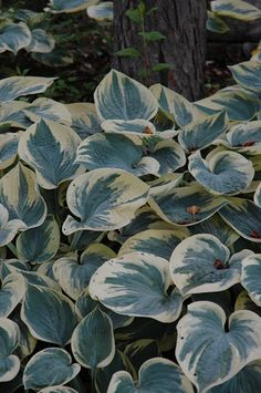 I love the creamy variegation on this blue Hosta 'Aristocrat', but it doesn't look like it would be slug-resistant. I think I see some holes...