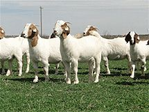 Boer Goat Does For Breeding & Sale In Texas | Schafer Farms