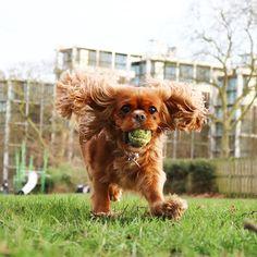 cavalier king charles spaniel dog outside one hyde park london