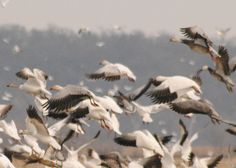 Snow geese using our dry field at our Missouri hunting club. http://www.showmesnowgeese.com/golden-triangle-duck-club/