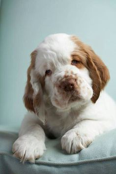 Clumber Spaniel Clumber Spaniel Source by AlexaGreyAlexa The post Clumber Spaniel appeared first on McGregor Dogs. Clumber Spaniel Puppy, Spaniel Puppies, Dogs And Puppies, Doggies, Beautiful Dogs, Animals Beautiful, I Love Dogs, Cute Dogs, Funny Dogs