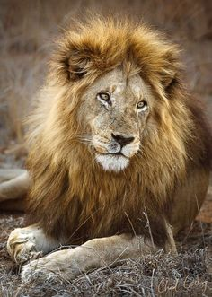 Chad cocking lion power animal, jungle animals, wild animals, kinds of cats, Funny Dog Pictures, Horse Pictures, Cute Animal Pictures, Jungle Animals, Baby Animals, Wild Animals, Cute Animals, Beautiful Creatures, Animals Beautiful