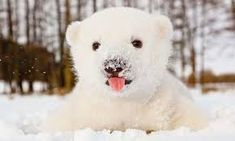 This polar bear is so cute! Cute Tiger Cubs, Cute Tigers, Baby Polar Bears, Cute Polar Bear, Polar Bears International, Snow Photography, Night Vibes, Bear Cubs, Nature Animals