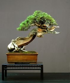 Bonsai plants can be very expensive and passed down in the family!I really love the look of Bonsai trees. Indoor Bonsai, Bonsai Plants, Bonsai Garden, Bonsai Trees, Bonsai Wire, Potted Plants, Ikebana, Plantas Bonsai, Large Bonsai Tree