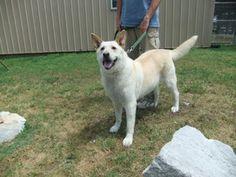 Jade is an adoptable White German Shepherd Dog in Bella Vista, AR.  ...