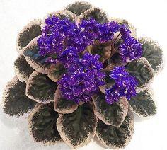 "African Violet Wrangler/'s Spanish Cavalier 4/"" Pot Variegated HNR"