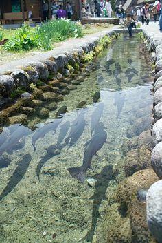 Black Koi fish swimming in crystal-clear brook in Shirakawa-go, Gifu, JapanMountain trout ~ By NipomenDrainage canal in Japan is so clean they even have Koi in it. Gifu, Ponds Backyard, Backyard Landscaping, Backyard Ideas, Backyard Aquaponics, Aquaponics Fish, Backyard Stream, Hydroponic Gardening, Landscape Design