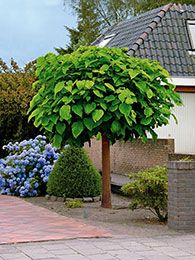 Trompetenbaum- pro Stück The trumpet tree (Catalpa bignonioides) 8 € trumpet-shaped flowers June-July 20 cm long, heart-shaped leaves turn pale yellow in the fall Delivery height cm Small Trees For Garden, Garden Trees, Lawn And Garden, Garden Bulbs, Home Garden Plants, Trees And Shrubs, Trees To Plant, Persian Silk Tree, Indoor Trees