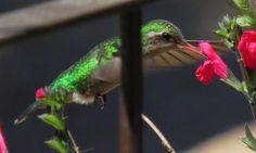 Glittering-bellied Emerald (Chlorostilbon aureoventris) | Glittering-bellied Emerald (Chlorostilbon aureoventris) Picaflor verde ...
