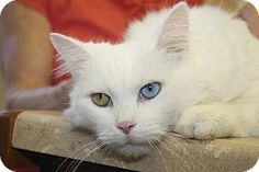 Beautiful bi-color eyed cat in New Monmouth needs to be adopted so you can change his name from 'Leopolt'. All the other cats are making fun of him...