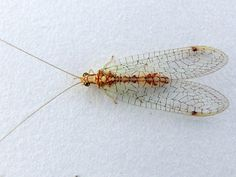 Lacewing with Pattern