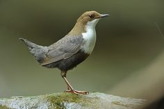 White-throated dipper (Cinclidae family)