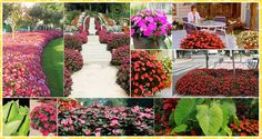 SunPatiens® is a revolutionary new hybrid impatiens bred by Sakata. These remarkable plants represent a breakthrough in flower breeding: robust, sun–loving, heat–loving impatiens that thrive in full sun or part shade and deliver continuous color from spring through frost. Whether used in baskets, window boxes, patio pots or in the landscape, these beautiful plants combine massive flower power with tough, low-maintenance plants that flourish almost anywhere. http://sunpatiens.com