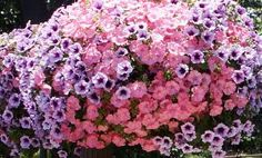 The 10 Best Flowers for Hanging Flower Baskets: Petunia