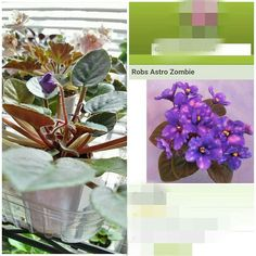 Taken 7/20/15 I noticed Rob's Astro Zombie about to bloom!  I have been waiting for this one! The picture on the right is from their website. #africanviolets #houseplants