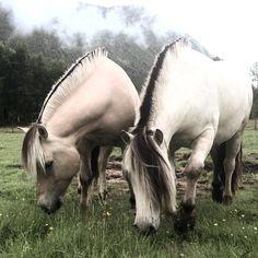 "mazthespaz: "" ponyfoxtrotter: "" mazthespaz: "" Ponyboys having a nice morning "" Those manes look amazing trimmed up like that. "" Standard Fjord horse manes:) """