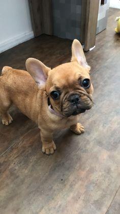 Maple #frenchie #bulldog