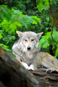 Wolf In Hiding Photo by Emily Stauring on Fivehundredpx
