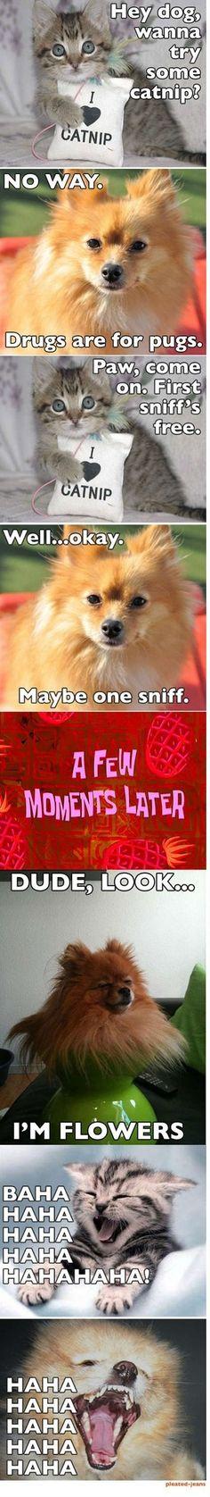 Pomeranian on catnip