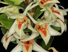 Dendrobium cruentum 1509