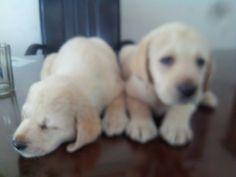 Ke$ha of #RyderKennel says #Hello  #Rydeweiler #labrador #pup #puppy #dog