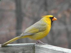 Tom Ruggles - Yellow Cardinal - 2/2010  Xanthochromic Northern Cardinal (excess of yellow pigments)